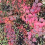 Cotoneaster sp. (?)