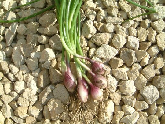 purplette spring onions