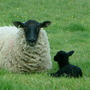 our first baby lamb... ebony