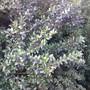 Myrtus communis (Common myrtle)