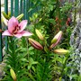 Pink Lily opened today. (Lilium vivaldi)