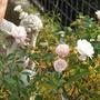 Angel_in_roses