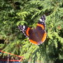 red admiral in winter