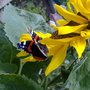 red admiral in sep