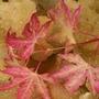 Heuchera_caramel_and_acer_foliage