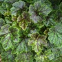 Heuchera_green_