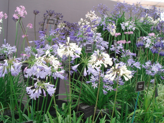 Southport Flower Show 2007 - Agapanthus display (Agapanthus africanus)
