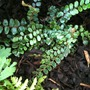 Pellaea rotundifolia (Pellaea rotundifolia)