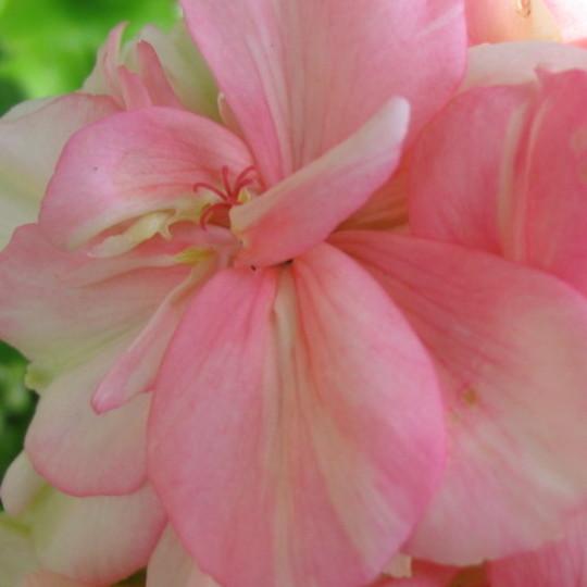 Blushing Sophie close up (Geranium cinereum)
