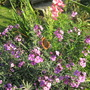 Butterfly still flying about the 'Bowles Mauve' today (Erysimum bicolor (Bowles' perennial wallflower))