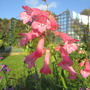 Penstemon still going strong. (Penstemon bridgesii (Bridges Penstemon))