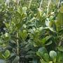 Artocarpus heterophyllus - Jack Fruit Trees (Artocarpus heterophyllus - Jack Fruit Tree)
