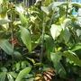 Garcinia mangostana - Mangosteen (Garcinia mangostana - Mangosteen)