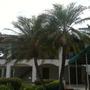Phoenix roebelenii - Pygmy Date Palm (Phoenix roebelenii - Pygmy Date Palm)