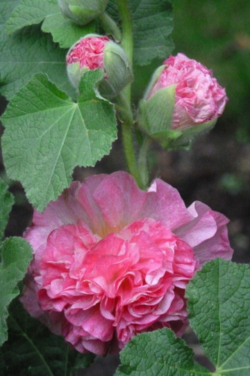Alcaea    . Hollyhock  ' Peaches  'n' Dreams '