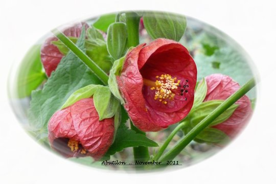Abutilon  ' Chinese Bell Flower '