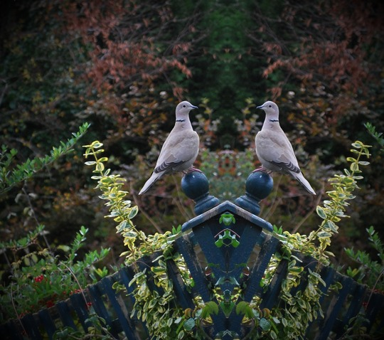 Collared Doves back in the grden...