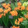 Southport Flower Show 2007 - Crocosmia (Crocosmia x crocosmiiflora)