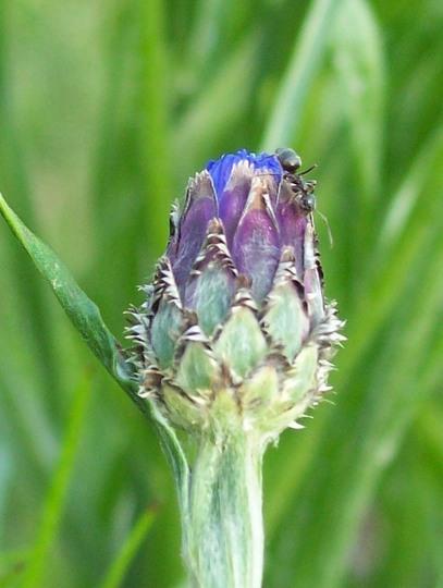 Ant Having A Ride On My Cornflower Bud :)