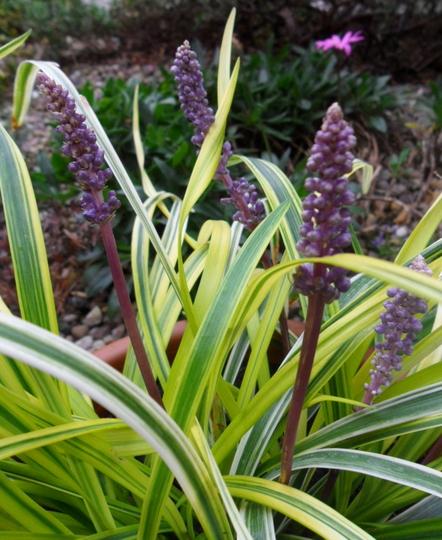 Liriope muscari 'Silvery Sunproof' flowers (Liriope muscari 'Silvery Sunproof')