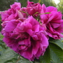 Rosa rugosa, 'Hansa' (Rosa rugosa (Rugosa rose))