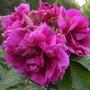 Rosa rugosa, 'Hansa' (Rosa rugosa (Rugosa rose))