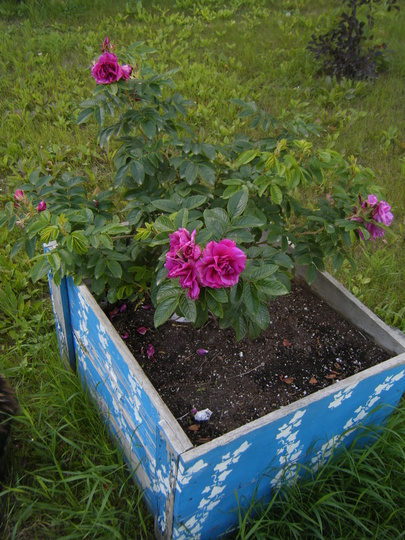 Rosa Rugosa,'Hansa' in the Box (Rosa rugosa (Rugosa rose))