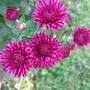 Chrysanthemums (Chrysanthemum)