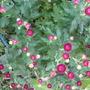 Chrysanthemum buds (Chrysanthemum)