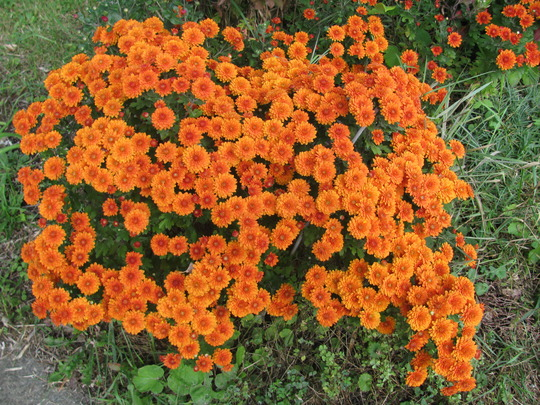 Chrysanthemums, rust (Chrysanthemum)