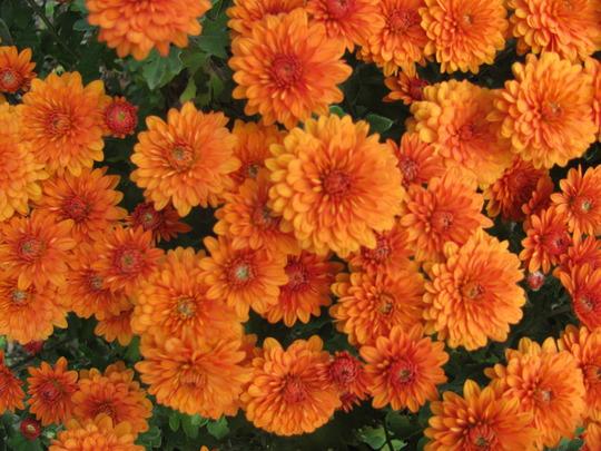 Rusty Orange chrysanthemums (Chrysanthemum)