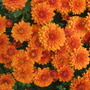 Rusty Orange chrysanthemums (Chrysanthemum)