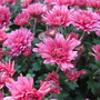 Chrysanthemums (Chrysanthemum)
