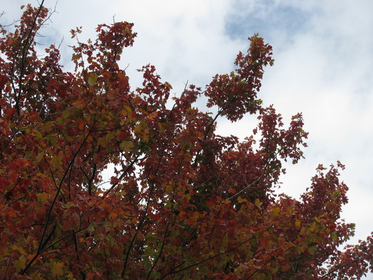 Maple tree in fall