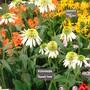 Southport Flower Show 2007 - Echinacea (Echinacea )
