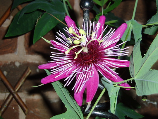 Passiflora 'Crimson Tears' (passiflora)