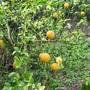 Poncirus trifoliate  (Japanese bitter orange)  Deciduous shrub/small tree (Poncirus trifoliata)