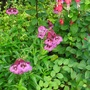 Another Penstemon and Fuchsia