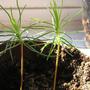 Scots pine seedlings (scots pine)
