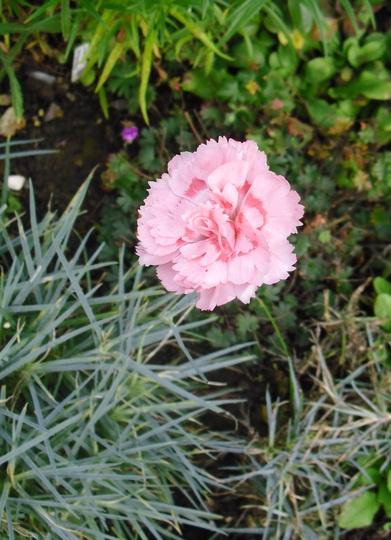Dianthus 'Doris'    (Garden Pink)