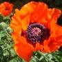 Poppy for today