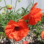 poppies (Papaver orientale (Oriental poppy))