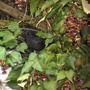 Mrs Blackbird defends here fruit store against all rivals. November 2011 (Leycesteria formosa)