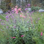Penstemons still flowering (Penstemon bridgesii (Bridges Penstemon))