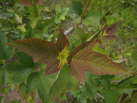 Viburnum trilobum, American Cranberry (Viburnum trilobum (Highbush Viburnum))