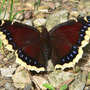 Mourning_cloak_topwing_6_07_08_exc_med