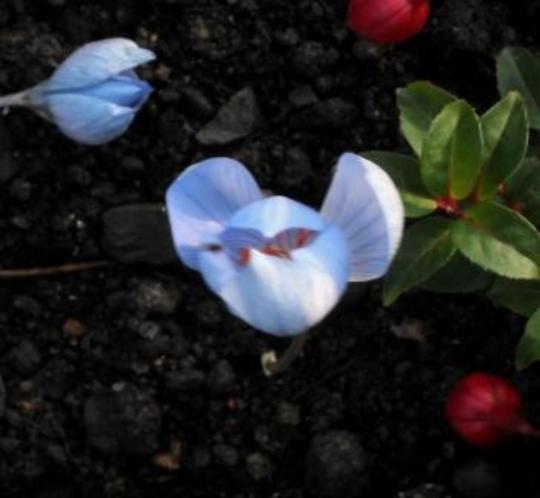 Crocus speciosa 12.11.11 (Crocus speciosus)