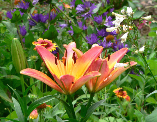"""Asiatic Lily """"Ladylike"""" in the Bed (Lilium """"Ladylike"""")"""