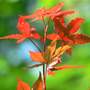 Japanese Red Maple Aglow (Acer palmatum (Japanese maple))