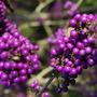 Callicarpa Bodnieri Giraldii Berries (Callicarpa Bodnieri Giraldii)